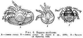 klewevye-bolezni-pchel-6.jpg